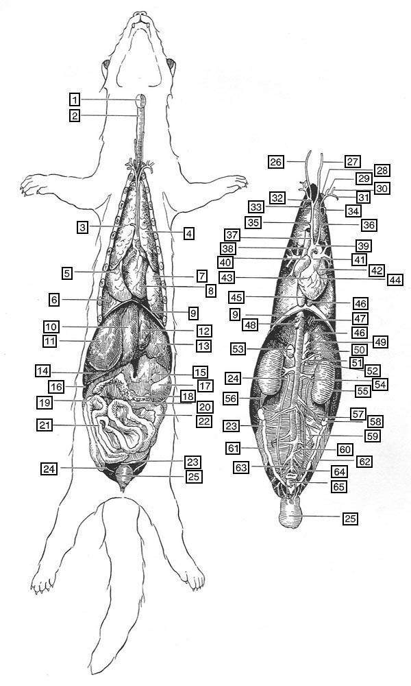 Frettchenanatomie