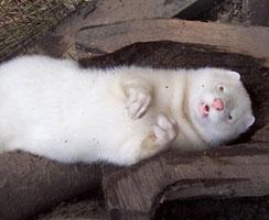 amerikanischen mink kaufen